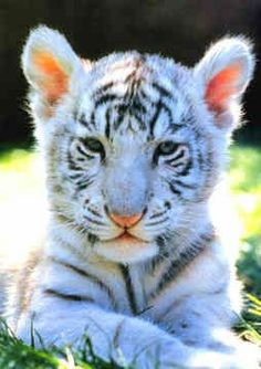 Beautiful Matted White Tiger /& Cub Foil Art Print~Affordable Art~8x10 Animal