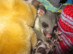 Our latest blog comes from Chris a Wildlife carer who raised two possums Beatle and Stix. Their story was featured in the TV documentary 'Possum Wars' on ABC, go to http://cooltobekindtoanimals.wordpress.com/ to read this fascinating story