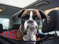 Funny Dogs Photographic Print: Boxer Dog by onixxino : - Funny Dogs, Funny Animals, Adorable Animals, Boxer Puppies, Boxer Breed, Boxer Bulldog, Boxer Love, Cesar Millan, German Shorthaired Pointer