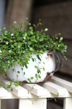 sweet angel vine o - House Plants Vines