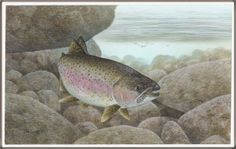 Rainbow trout fish images