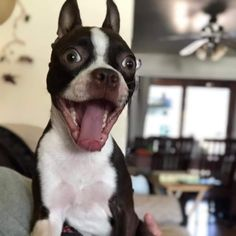 """Boston Terrier Dogs on Twitter: """"Mika excited for the dog park! 😄… """" Boston Terrier Love, Boston Terriers, Terrier Dogs, Cute Puppies, Cute Dogs, Hello Cute, French Bulldog Puppies, Puppy Pictures, Dog Park"""