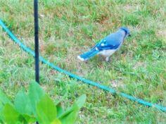 blue jay near water hose