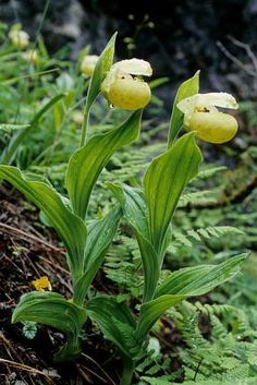 Cypripedium flavum Botany, Slipper, Orchids, Vegetables, Plants, Loafer, Vegetable Recipes, Lilies, Veggie Food