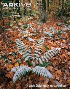 Light snow on forest floor - View amazing eastern deciduous forest photos on Arkive Forest Floor, Woodstock, Vineyard, Amazing, Plants, Outdoor, Image, Outdoors, Flora