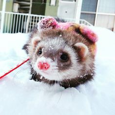 Ferret in snow Baby Ferrets, Pet Ferret, Cute Ferrets, Animals And Pets, Baby Animals, Super Cute Animals, Funny Animal Memes, Cute Creatures, Exotic Pets