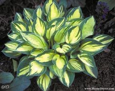 'Cherish' - A mini hosta, one of the very best. Ideal for rock gardens, mini beds, or front of a hosta border.