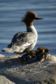 Mama Goosander Duck & Babies