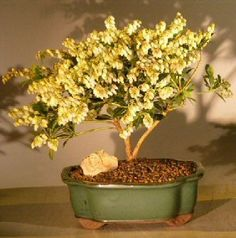 Bonsai Boys Flowering Andromeda Bonsai Tree  Large pieris japonica variegata * Check this awesome product by going to the link at the image.
