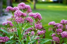 Swamp Milkweed (Asclepias incarnata); grows 4-5' tall. Fragrant flowers appear from mid summer to autumn. Enjoys a damp soil. Attracts butterflies and bees.