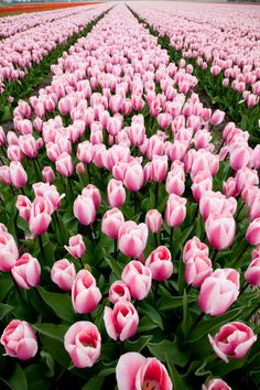 {Pink Tulips}