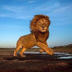 """2,874 Likes, 9 Comments - LION (@lions) on Instagram: """"Action shot!⠀ #lion #lions #lioness #lionking #pride #zoo #safari #cats #king #cub #cubs…"""""""
