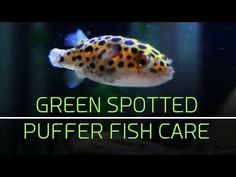 Pin by brata hungan on puffer fish pinterest for Freshwater puffer fish care