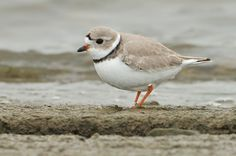 A Piping Plover in Tennessee Sweet!