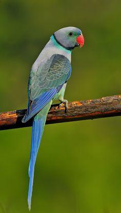 Malabar Parakeet, also called Blue-Winged Parakeet.