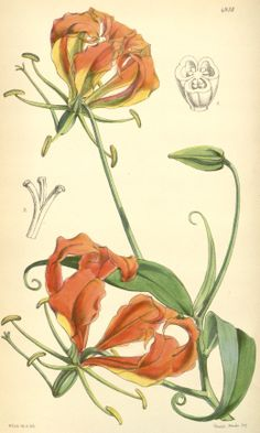 Tropical Glory Lily has scarlet-red, back-swept petals. Find out how to grow Gloriosa lily house plant, how to train its climbing vines, how to propagate tubers and more. Illustration Blume, Family Illustration, Vintage Botanical Prints, Botanical Drawings, Botanical Flowers, Botanical Art, Gloriosa Lily, Lilies Drawing, Realistic Drawings