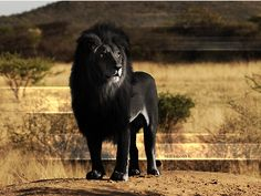 Often rare animals are the most beautiful. I didnt know if thos is real or not i havent heard of a black lion..