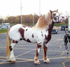 Chestnut Pinto Paint Draft Horse Stallion Gelding Mare
