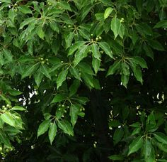 [Fragrance Garden] Camphor tree (Cinnamomum camphora) is used extensively for the external treatment of muscular strain, gout, rheumatic conditions, inflammations, as well as acting as a weak antiseptic for the skin.   http://www.herbalgram.org/herbalgram/articleview.asp?a=1052