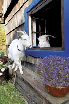 """Goats.......WAS GOING TO BOARD THIS IN """"WINDOWS"""", BUT THE GOATS TOOK FORERUNNER......""""HI THERE YOU TWO"""".....YA KNOW THE AGRICULTURAL MAGAZINE GUY COMES TODAY.....ARE YOU ALL BRUSHED AND PREPARED?.....CCP"""