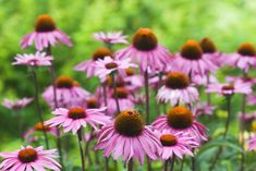 10 Impressive Echinacea Benefits to Support Your Health - 10 Impressive Echinac. - 10 Impressive Echinacea Benefits to Support Your Health – 10 Impressive Echinacea Benefits to Support Your Health Garden Yard Ideas, Lawn And Garden, Fall Flowers, Summer Flowers, Pretty Flowers, Drought Resistant Plants, Summer Plants, Fall Plants, Healing Herbs