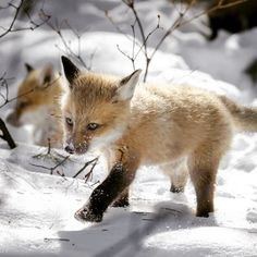. Baby fox.  Photography By @ (Chantal Pimpare). Baby fox in the snow.  #Babyfox #Snow #fox