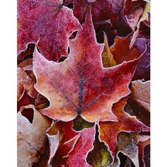 maple leaves – Mike Putnam Landscape Photography | Fine Art landscape... ❤ liked on Polyvore featuring backgrounds and autumn