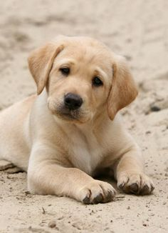 Mind Blowing Facts About Labrador Retrievers And Ideas. Amazing Facts About Labrador Retrievers And Ideas. Beautiful Dogs, Animals Beautiful, Cute Baby Animals, Animals And Pets, Cute Dogs And Puppies, Doggies, Corgi Puppies, Cute Labrador Puppies, Maltese Dogs
