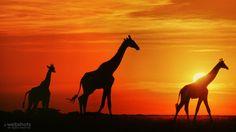 Giraffes at sunset, Botswana