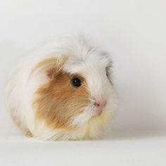 Do Guinea Pigs Go Into Heat?