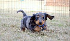 Hank! The cutest miniature dachshund!