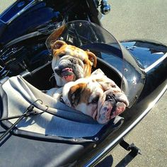 English Bulldog- my dream come true!  My dogs in a sidecar w/ my bike! Love, Love, Love!!! sjd