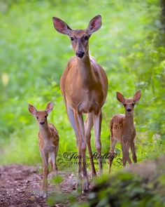 Whitetail Deer and Fawns, by Jim Ridley Photography Nature Animals, Animals And Pets, Baby Animals, Cute Animals, Beautiful Creatures, Animals Beautiful, Deer Photos, Deer Family, Family Family