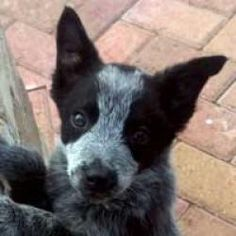 Justice is an adoptable Australian Cattle Dog (Blue Heeler) Dog in Lakewood, CO. Justice is an 8 week old blue heeler/Aussie mix. She was rescued from an overcrowded local shelter. Justice has been sp...