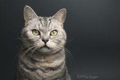 Passie - Brits Korthaar © Cat'chy Images 2015