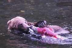 Alaska Bear on the Russian River