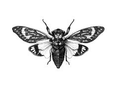 scientific illustration cicada - Google Search