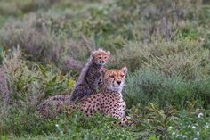 From the life of the Lake Ndutu cheetah family - relaxation after the rain.