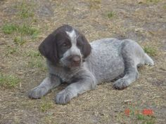 ~ German Short-Hair Pointer....another favorite breed.  Such sweetness  ~ Good natured, smart, loving, fun-loving breed