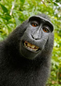 This photo is unique in this series as it is an actual selfy! Whilst visiting a national park in North Sulawesi, Indonesia, award-winning photographer Slater left his camera unattended for a while, which quickly attracted the attention of an inquisitive female black macaque which by accident managed to get this amazing selfy shot!