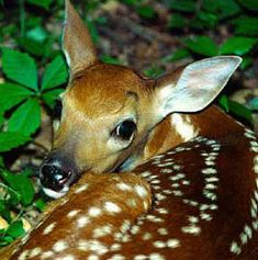 Graceful and shy, White tail deer are a joy to spot at the Maya Jungle in Yucatan