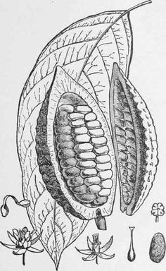 This is public domain art of cacao pod, leaf and flower