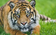 2880x1800px tiger wallpaper pictures free by Kalem Smith
