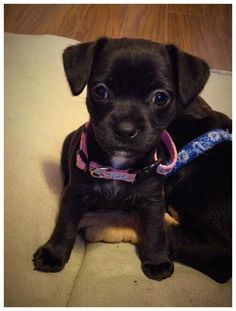 Cleopatra is an adoptable Chihuahua Dog in Vancouver, BC Cleo is a 2 month old chihuahua and like her name she is a bright spark. She may only weigh onl ... ...Read more about me on @petfinder.com