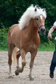 West wind - Haflinger stallion