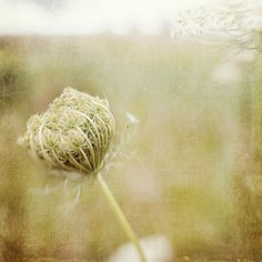 Queen Anne's Lace Green White  Kansas by Gallery32Photography, $29.95 #TrinaBakerPhotography #KansasLandscape #photography