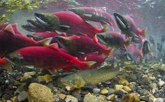 Brightly colored sockeye salmon surge by as a Dolly Varden waits its chance to binge on salmon eggs - Photograph by J. Salmon Run, Salmon Eggs, King Salmon, Trout Fishing Tips, Salmon Fishing, Facts About North America, Dolly Varden, Fraser River, Sockeye Salmon