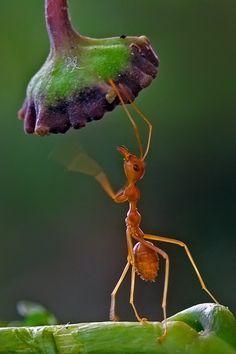 Curiosa hormiga