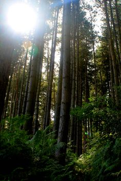 Tall trees in Woburn Forest