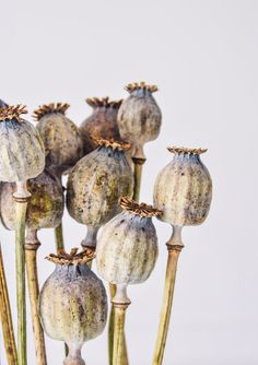 Trockenblumen Pure Poppy Seed Head Bunch - Dried Humidity: The Destroyer Of Family Vegetation Althou Dried Flower Bouquet, Dried Flowers, Flower Bouquets, Brown Flowers, Poppy Flowers, Botanical Illustration, Botanical Prints, Poppies Tattoo, Poppies Art